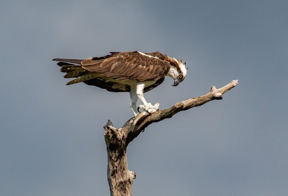Osprey with some fish